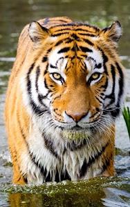 Download Tigers Live Wallpaper 7.1 APK